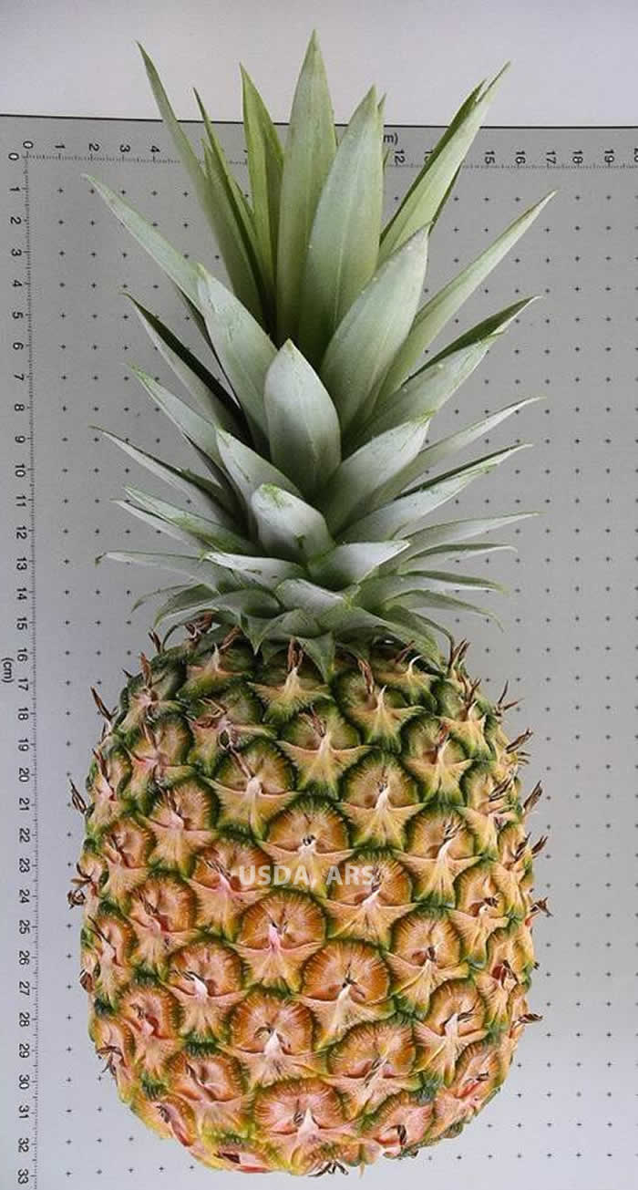 Ananas comosus var. comosus fruit and crown