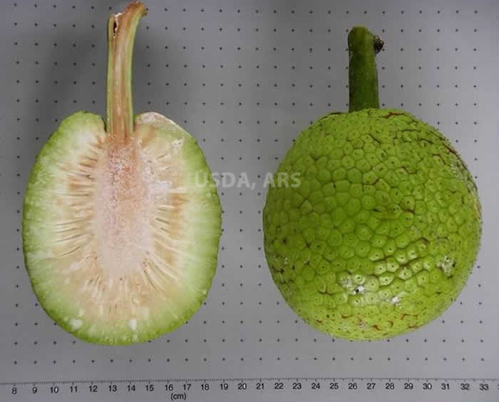 Breadfruit half fruit and whole
