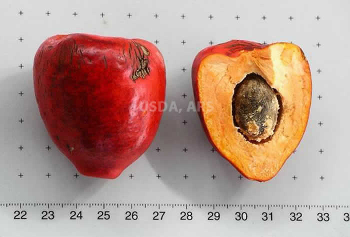 Peach palm whole fruit and half fruit showing seed