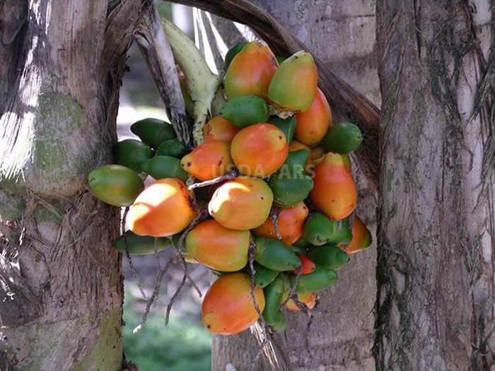 Fruit bunch on tree