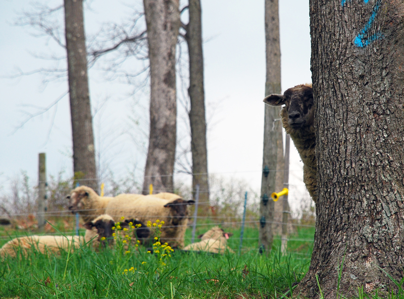 Sheep peering from behind a tree