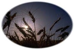 Cereal Crops Image