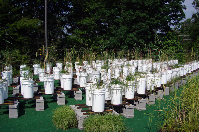 Pots of grasses in study for rain gardens