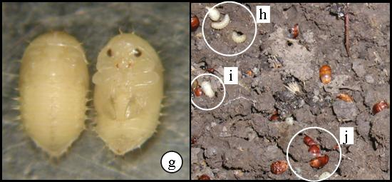 SHB Pupae and various life stages