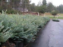 Native Blue ornamental blueberry