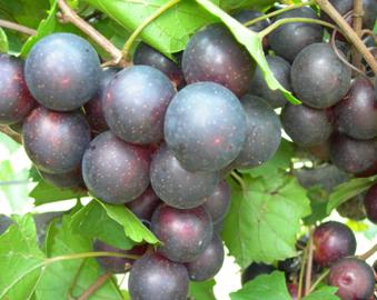 Eudora muscadine grape