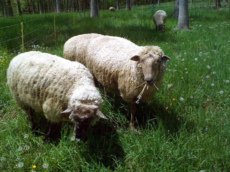 Two sheep eating dandilions