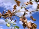 White Mold on Chickpea
