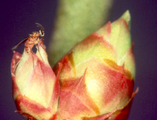 image of gall midge laying eggs