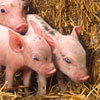 antibiotic use in swine