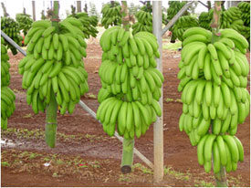 Banana bunches at harvest