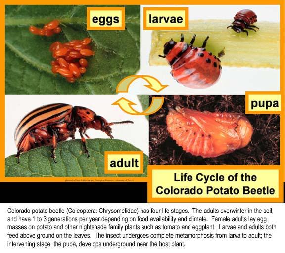 Colorado potato beetle life cycle