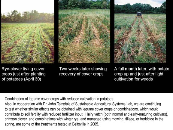 Potato plantings in mixed cover crops