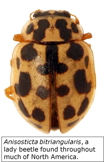 Image of Coccinellidae aka Lady Beetle