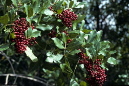Brazilian peppertree with red berries
