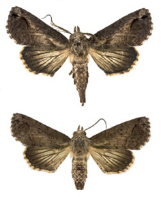 Picture of 2 adult moths
