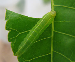 Picture of a green and yellow striped larva