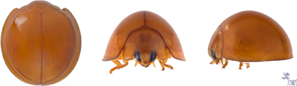 The kashaya lady beetle: top, front, and side views