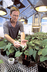 Team member Phil Miklas of ARS works with bean plants in the greenhouse
