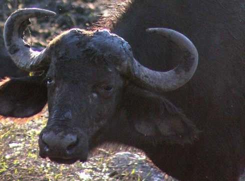African Buffalo, photo from Virginia Tech News (www.vtnews.vt.edu)