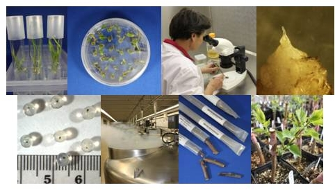 Collage of tissue cultures growing on media, alginate beads, cryo tanks, storage tubes, and seedlings