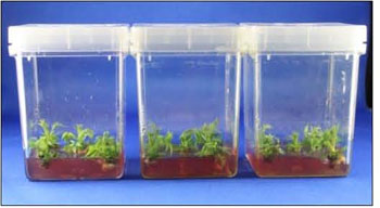 plant tissues growing on media in cubes