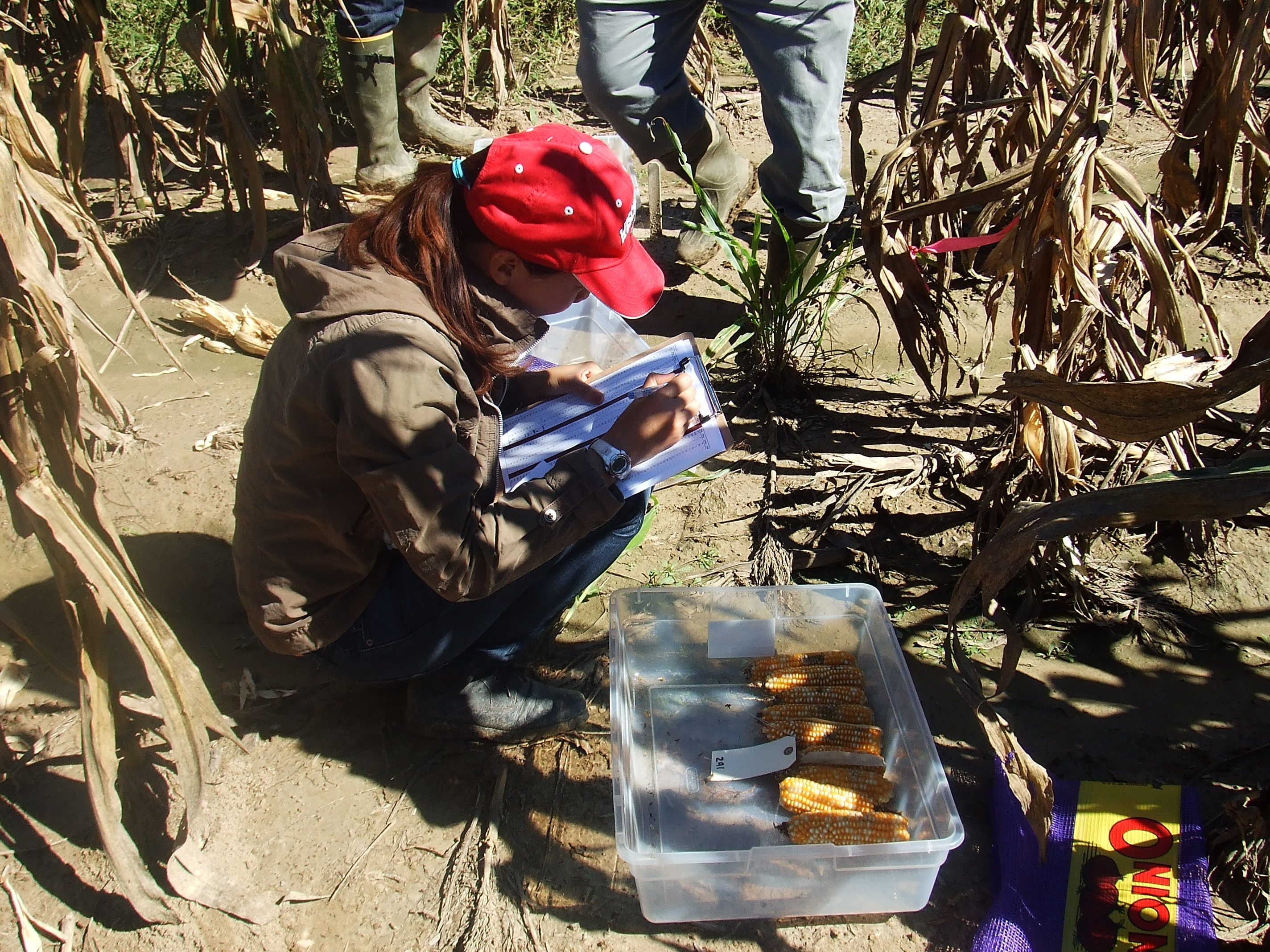 A graduate student collects data from a corn field at the USDA ARS Corn Host Plant Resistance Research Unit in Mississippi