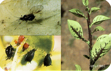 composite image of 3 pictures of brown citrus aphids, close up winged form, nymphs and colony