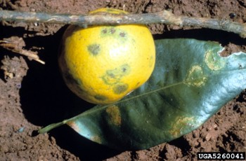 symptoms of citrus leprosis on fruit green spots and circular bullseye splotches