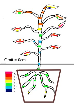 cartoon tree image depicting location and concentration of HLB within various parts of a citrus tree