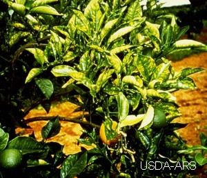 image of a citrus tree with severe cvc infection leaves have a bright yellow mottle
