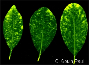 Citrus leaves showing symptoms of cymv a bright yellow flecking