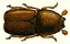 Image of Scolytus bark beetle