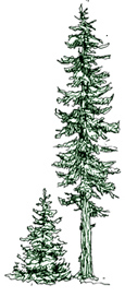 Picture of two conifers