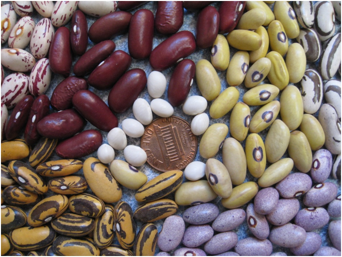 Grain Legumes with a Penny