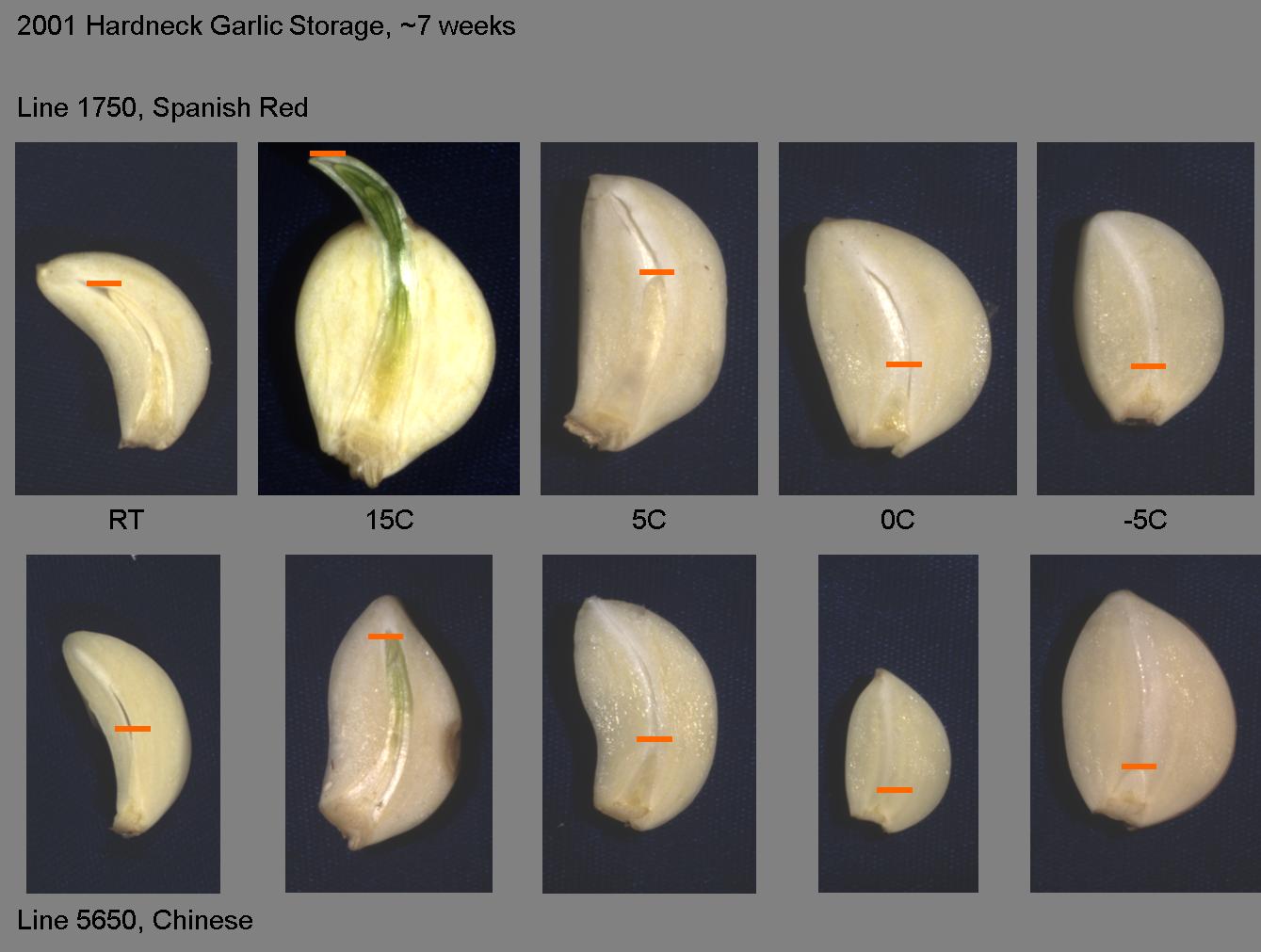 2001 Hardneck Garlic Storage 7 Weeks