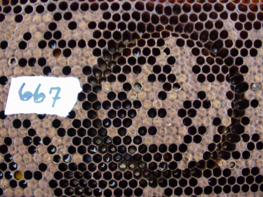 frame 667 after non-hygienic dead brood removal