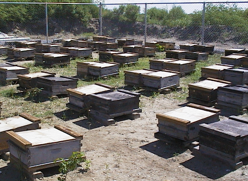 The quarantine apiary on Grand Terre Island ready to receive the Russian queens.