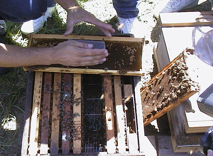 A picture of a queen introduction under a push-in cage for later release.