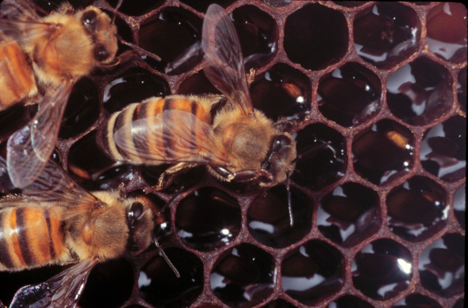 Worker bee grooming its thorax with the right middle leg