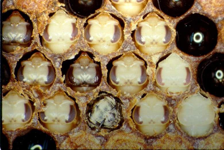 Brood cells containing tan-colored pupae