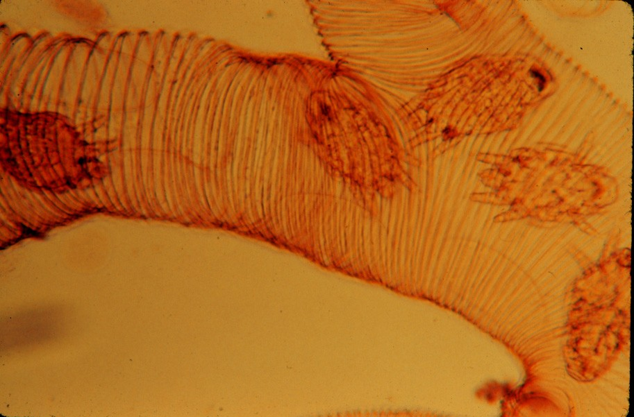 Tracheal mites in a honey bee trachea (photo at 30X)
