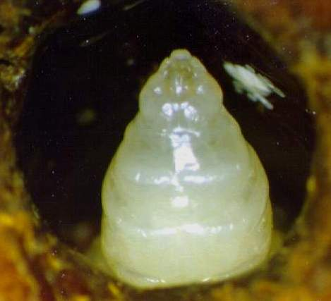 A worker prepupa.  Notice the pile of mite feces located on the cell wall (to the right of prepupa).