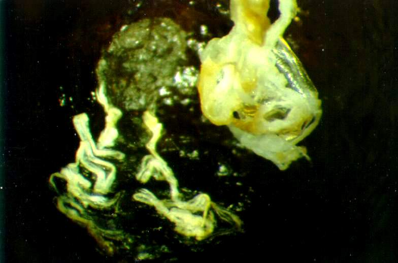 Close-up of the two skins that can be found in a brood cell after the adult bee leaves the cell.  The skin to the lower left is the old larval skin that was shed in step 8 (above).  The skin in the upper right is the pupal skin that was shed as the pupa became an adult bee.
