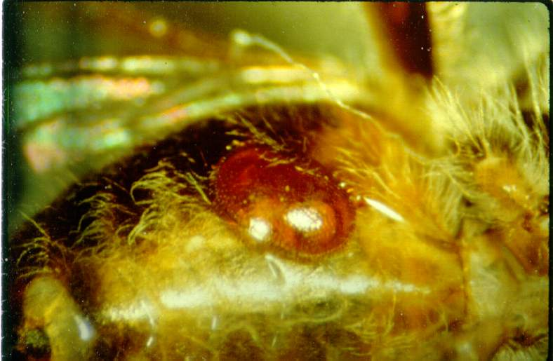 Varroa on a bee's abdomen (photo courtesy of Dr. Keith Delaplane; University of Georgia).