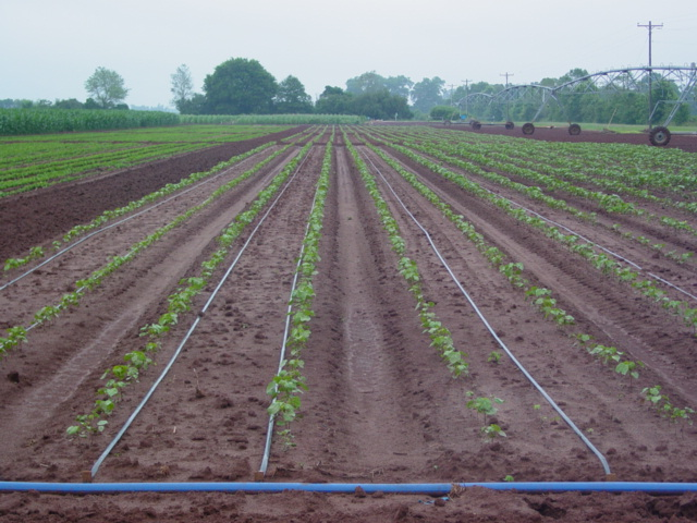 Surface drip irrigation layout