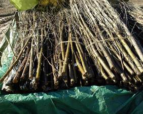 Soaked willow poles awaiting planting