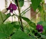 Photo of legume plant.