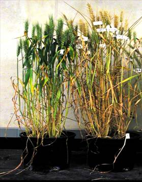 Previous KSU research has shown that heat stress is the number one limitation on wheat yields in Kansas. Heat during grain fill typically reduces yield potential by 50% and also decreases grain quality. In this photo of heat stressed wheat, a tolerant line from Australia on the left is compared to the intolerant Kansas cultivar Karl 92. Our objectives are to transfer heat tolerance to Kansas cultivars and to understand the various mechanisms of heat tolerance.