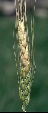 Fusarium head blight (also know as wheat scab) is a serious problem in the humid eastern portion of the hard winter wheat region. The fungus causes the grain to shrivel and produces DON toxin which can limit marketability of affected grain. Studies are focused on developing resistant germplasm and molecular markers for resistance genes. We are also studying the diversity and genetics of the pathogen to identify targets for resistance genes or fungicides.